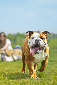 bulldog running in a park